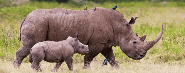9-CONSERVATION-Awards-Rhino-Calf  Rhino Conservation Awards Honour Rangers 9 CONSERVATION Awards Rhino Calf