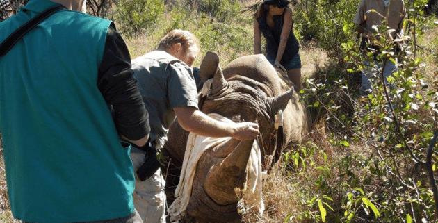 Ascari-Rhino-2  Askari Lodge Rhinos Dehorned Ascari Rhino 2