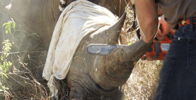 Ascari-Rhino-3  Askari Lodge Rhinos Dehorned Ascari Rhino 3