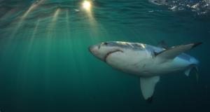 Attractions-WSP-Shark-UW