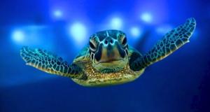 Avaaz-Turtle