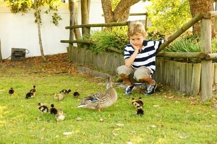 SONY DSC  Stellenbosch trumpets family-friendly experiences Boy and ducks LR