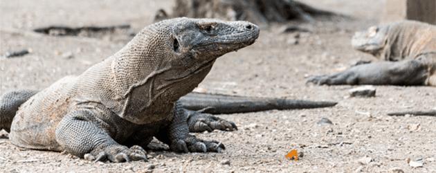 Komodo Island Dragons