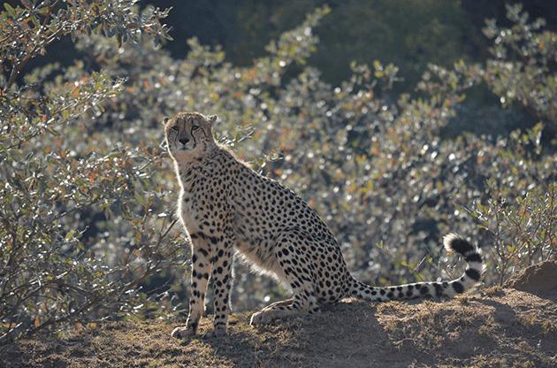 Cheetah at Samara Private Game Reserve