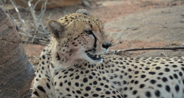 Cheetah close up at Samara Private Game Reserve