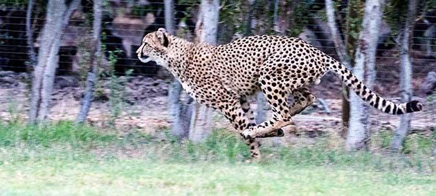A Cheetah running at Ashia