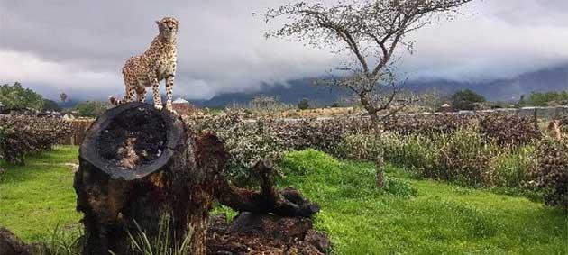 Cheetah in an enclosure at Ashia
