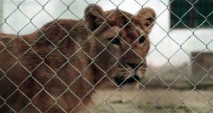 Circus Lion in Ukraine