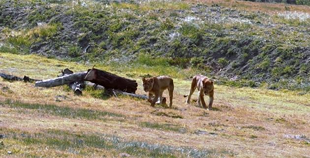 Rescued lioness at Kragga Kamma Game Park in Port Elizabeth