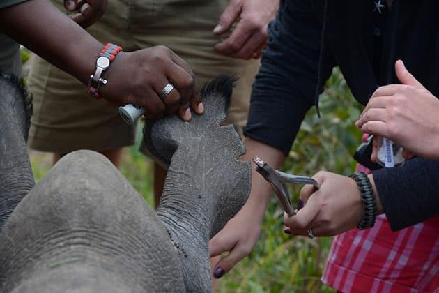 Rhino ear notching