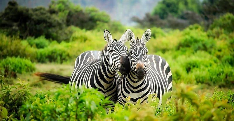 A pair of zebra in Kenya