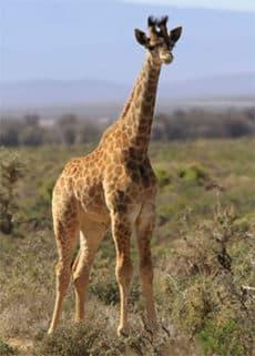 Giraffe calf at Inverdoorn Private Game Reserve