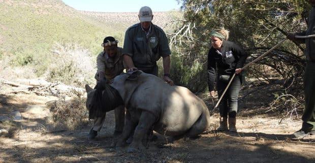 White rhino being drugged prior to dehorning
