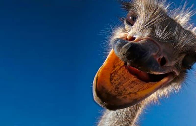 Close up of an ostrich head
