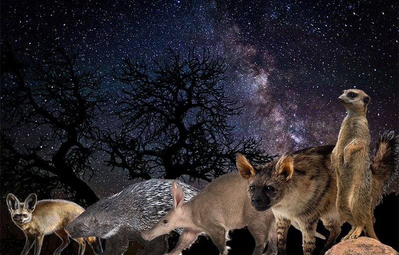 The Shy 5: bat-eared fox, porcupine, aardvark, aardwolf, and meerkat
