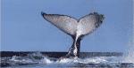Cape-Whale